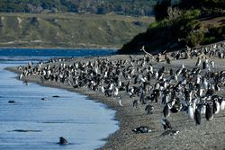 Magellanic penguin colony.