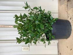 August Beauty Gardenia