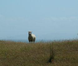 New Zealand sheep at Regional Park