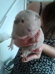 Hugo the Guinea Pig