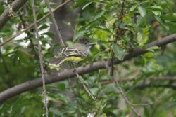 Apical Flycatcher