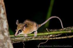 Robinson's mouse opossum - Marmosa robinsoni