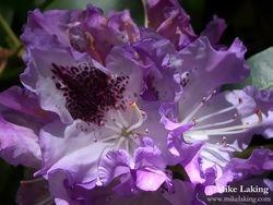 Purple & White Rhododendron Blossom