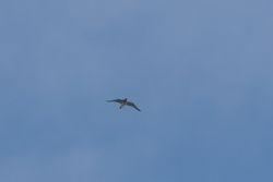 European Golden-Plover   (PLUVIER DORE)