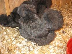 Black  Hen Riba
