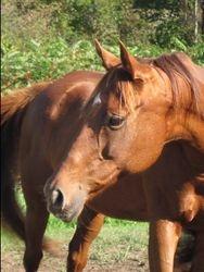 Hush Dottie- Expecting a Friesian SportHorse foal 2014