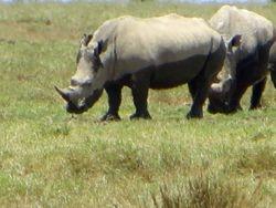 White Rhinos - Lake Nakuru Game Reserve
