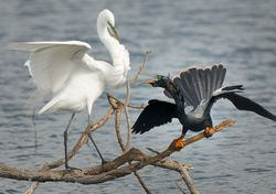 Great Egret vs Anhinga