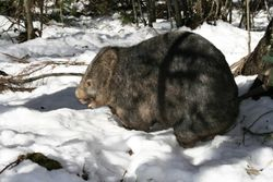 Wombat in Snow - Lake Mtn July 2007