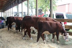 Seagraves Hereford Farms at Randolph County Fair
