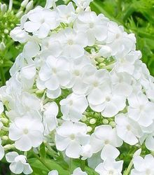 Phlox paniculata Mother of Pearl