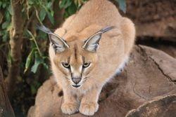 Lynx at Animal Orphanage, Mt. Kenya Safari Club