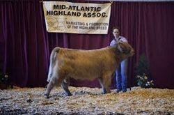 Intermediate Yearling Bull Champion