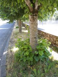 Arvieu street trees - before