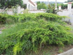 Juniper before weeding
