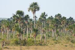Buritizal (Mauritia flexuosa) - Vereda - Buriti