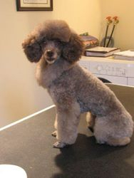Toy Poodle - after with a collar