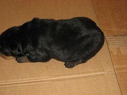 Puppies at 2 weeks...