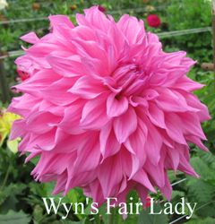 Wyn's Fair Lady B ID Lavender SOLD OUT