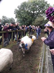Masham sheep race