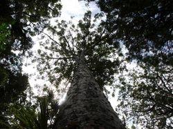 A Kauri tree