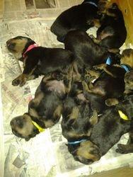Puppies at 4 weeks...