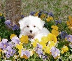 Lambo puppy