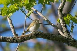 Eastern-crowned Warbler