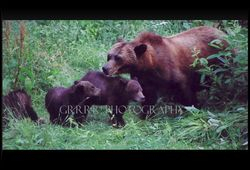 Grizzly Sow (Monica) with 3 cubs