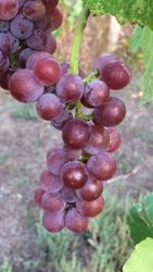 Swenson Red grapes, Sept 10th
