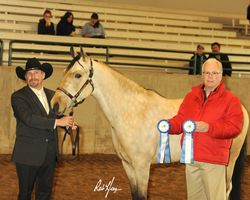 Showmanship Mike Baker and Tactical Advantage  Spring Daffodil Arabian Show