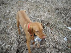 Sami retrieving in fall of 2010