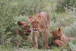 Green season lions