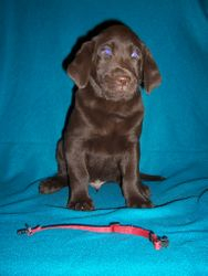 """Red Collar Male """"Baloo"""" - 7 Weeks Old"""