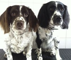 Clemie and Fizz - Springer Spaniels
