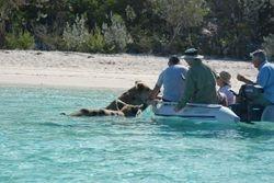 The swimming pigs at Big Major Spot