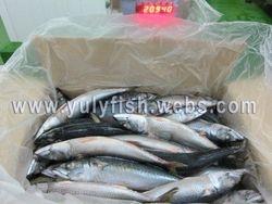 Mackerel scomber japonicus Spain