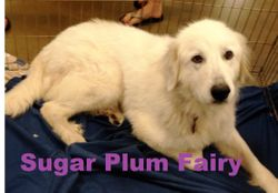 Sugar Plum Fairy--BEFORE PICTURE