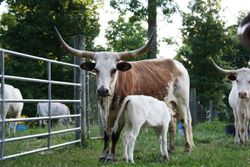 Brownie and Calf