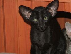 Alchemy Jack of Spades- FCCV Kitten of the Year 2008