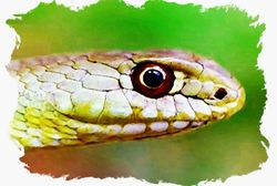 Montpelier Snake in Watercolor