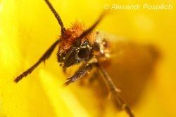 Chrostíkovník 3 (Micropterix sp.)