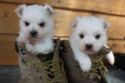 Puppies 5-6 weeks