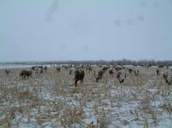 cows grazing corn in early winter