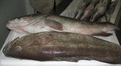 Grouper Mauritania