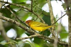 Yellow warbler - resident subspecies