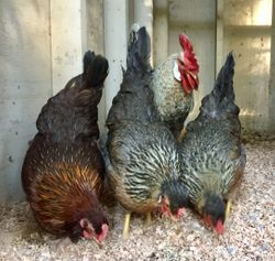 Marans on the left- Olive Egger producer
