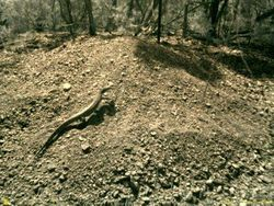 Goanna on Malleefowl Mound