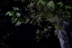 Leaves at Night 1