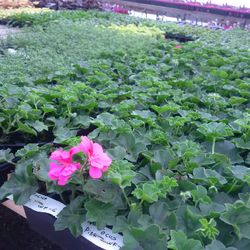 These Geraniums just can't wait to be in your Garden